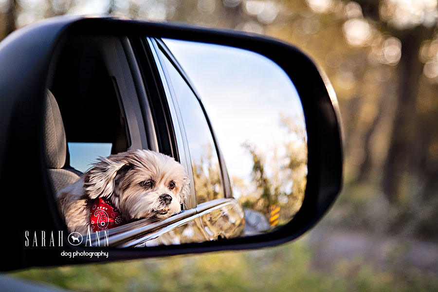 dog in car mirror dog pet photos canada calgary