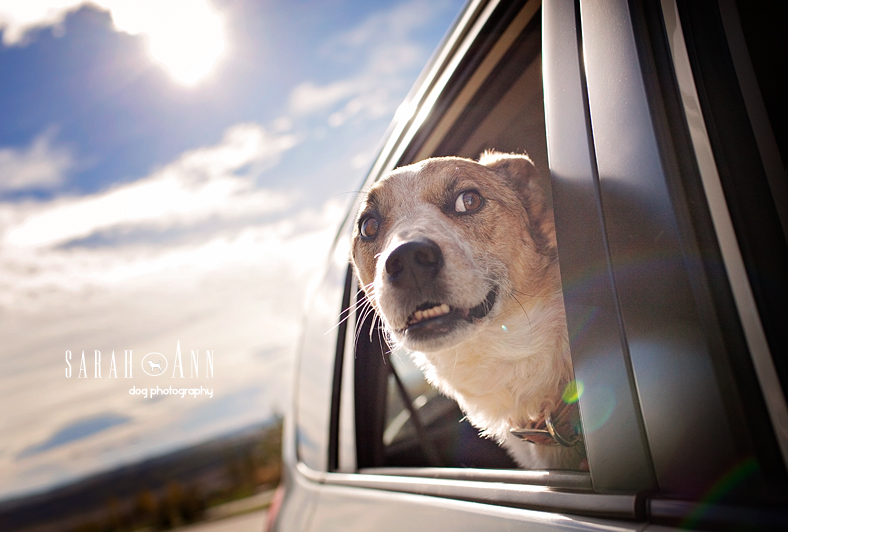 dogs-in-the-car-photo-heeler-dog-sunflare-car-rides-dogs-Car Dogs Pet Photos & Stock Photography