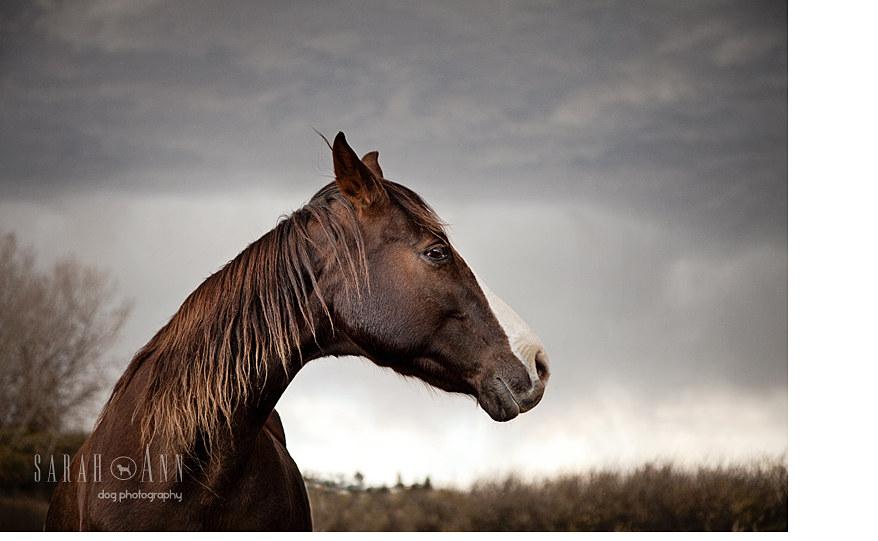 equine-horse-photography-alberta-horse-image-stormy-alberta-skies-horse-head-portrait