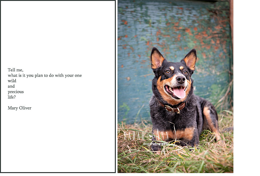 blue-image-heeler-farm-dog-image-smiling-dog-SarahAnn-Dog-Photography