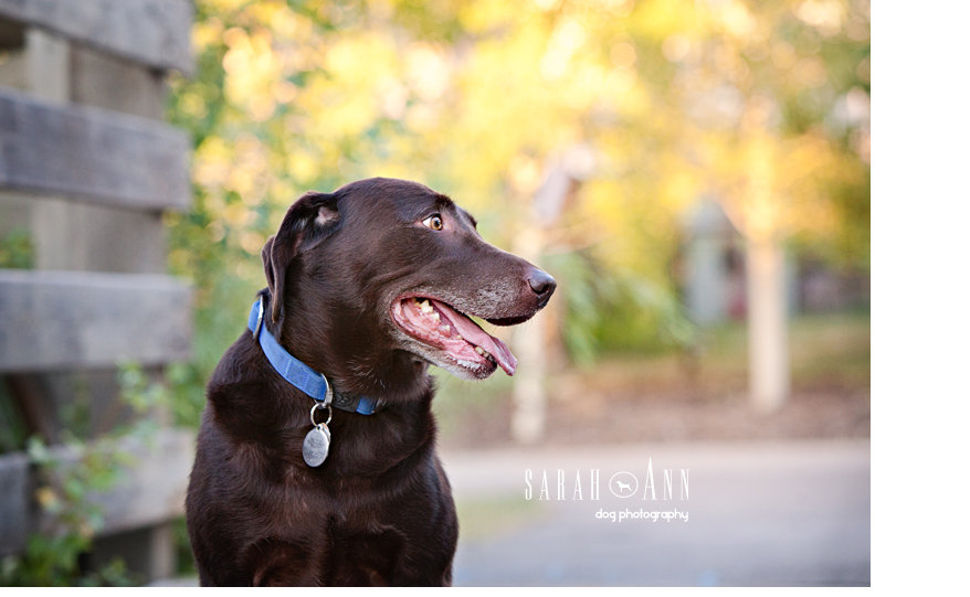 chocolate-lab-picture-profile_smiling_dog_image_sarahanndogphotography