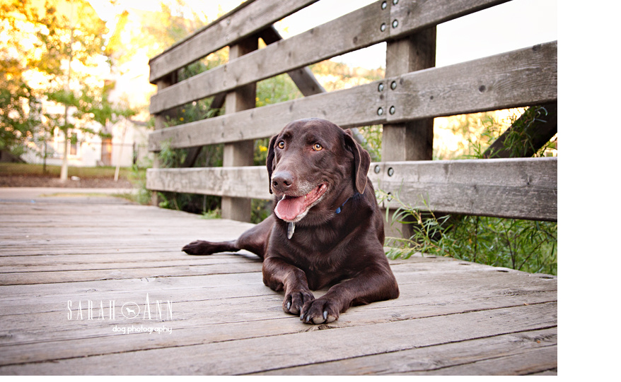 image-chocolate-lab-dog-lying-down-on-bridge-sarahanndogphotography