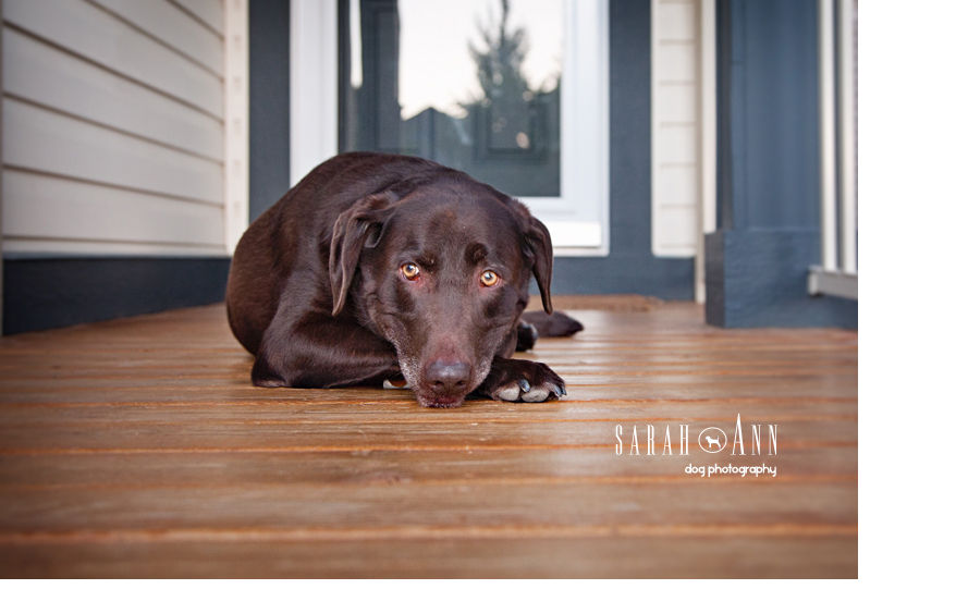 lab-with-head-on-lap-sad-dog-eyes-image-sarahanndogphotography