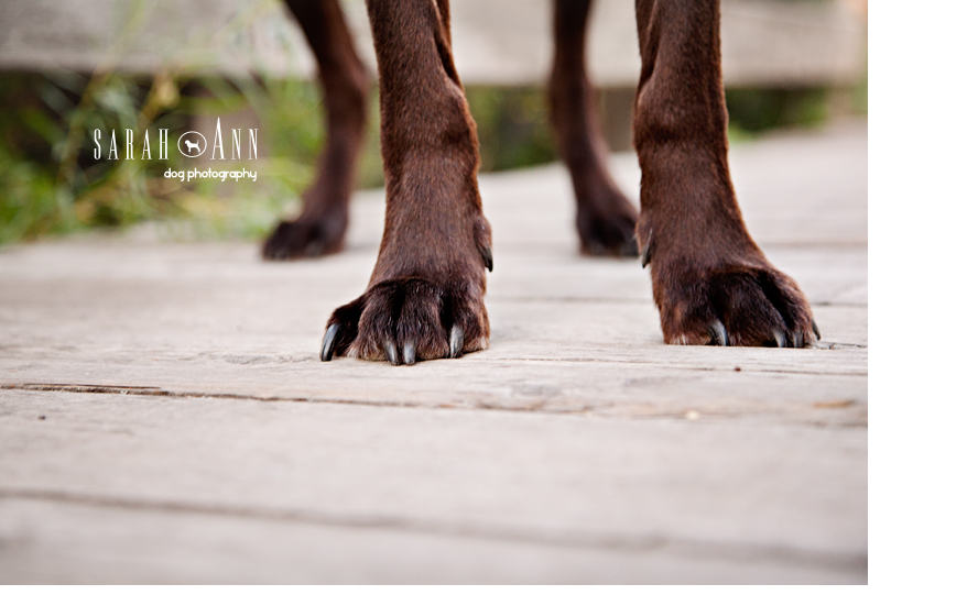 photo-of-dog-feet-chocolate-brown-lab-feet-image-sarahanndogphotography