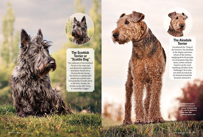 scottie_terrier_portrait_airedale_terrier_photo_Modern_dog_magazine_terrific_terriers_calgary_dog_photographer_casting_call