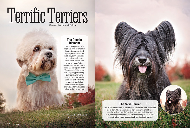 Modern_dog_magazine_terrific_terriers_calgary_dog_photographer_dandie_dinmont_photo_sky_terrier_image