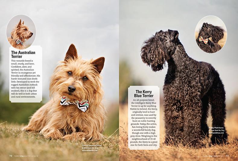 red_aussie_terrier_photo_kerry_blue_terrier_image_Modern_dog_magazine_terrific_terriers_calgary_dog_photographer