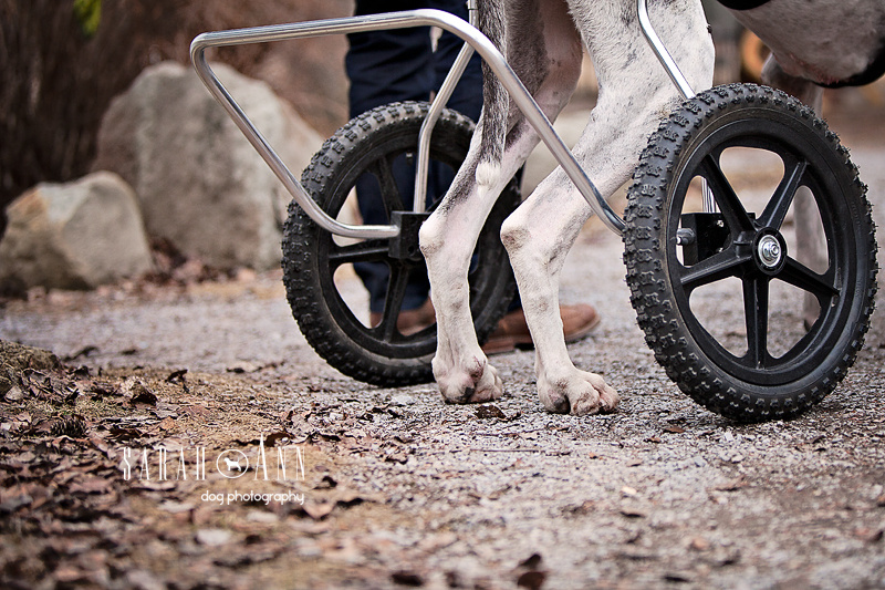 Casting Call Calgary, Dogs and Cats With Wheels, wheel dogs, dog wheelchair image