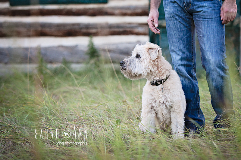 In Memory of Biscuit Calgary Dog Photography, wheaton dog photo, terrier pic