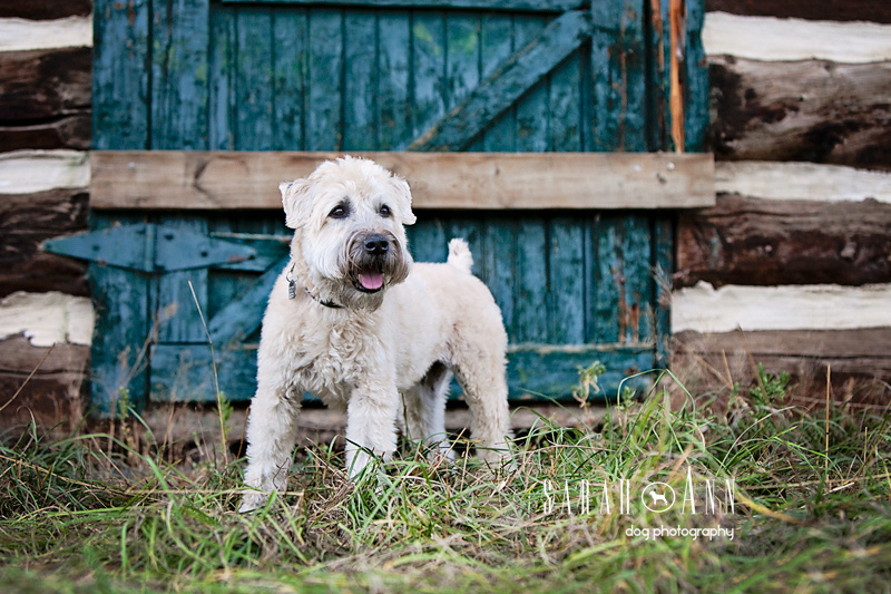 In Memory of Biscuit Calgary Dog Photography, wheaton terrier- dog-images