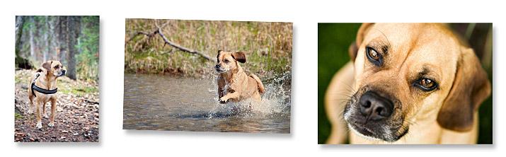 Fur Baby Boomer-pug-beagle- dog-image-puggle-photo-dog-images
