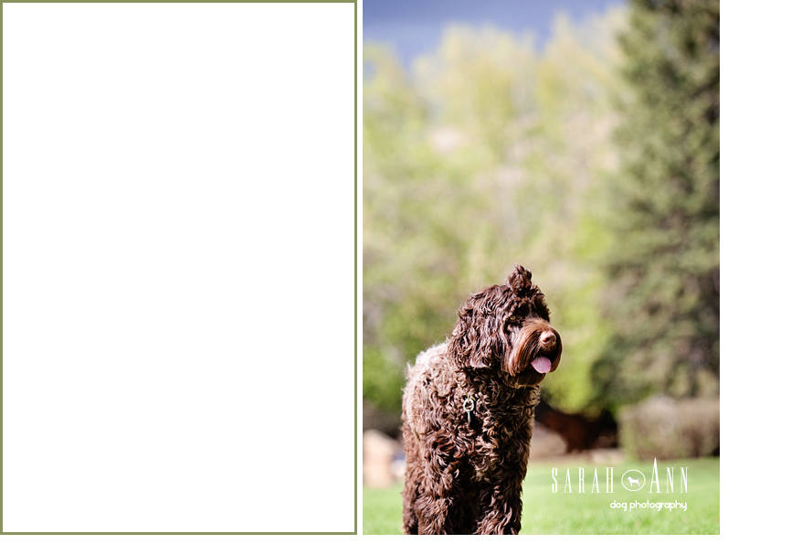 brown dog portrait calgary, custom pet pics, dog photo contributers, custome pet photography, dog cat cards
