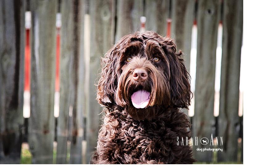 brown labradoodle photo,  animal photographer, vet clinic wall photos decor