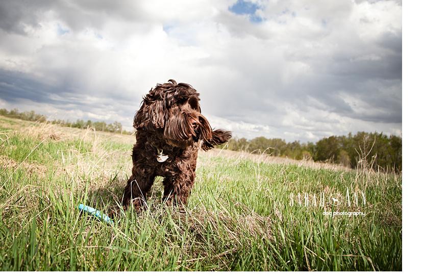 image brown labradoodle, calgary dogs, canadian pet photographer, stock dog photos, commercial pet photos