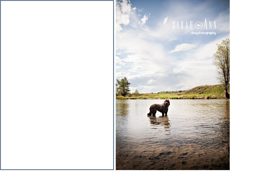 dog in water portrait,  alberta dog portraits, custom pet pics, pet cardsdog in water photo