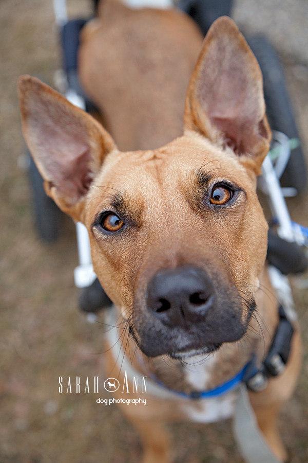 Wheel Dogs-dog-portrait-face-image-dog-wheelchair-pet-wheels-dog-portraits-rescue-calgary