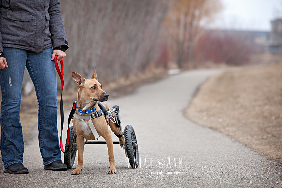 Wheel Dogs-dog-with-wheels-image, woman-with-dog-disability-pet-wheelchair