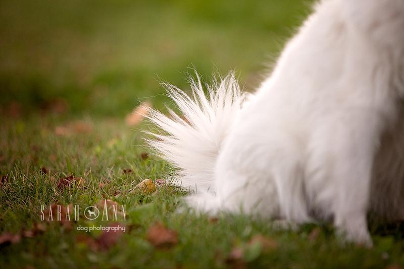 eskie-dog-tail-image_dog_tail_close_up_photo_eskimo_dog