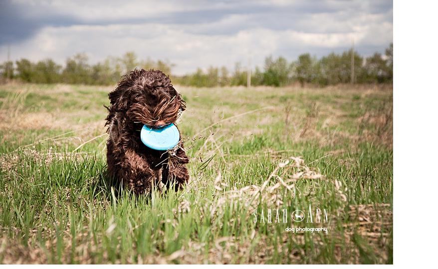 labradoodle running photo, dogs running pics, dog pet photos canada, pet cards