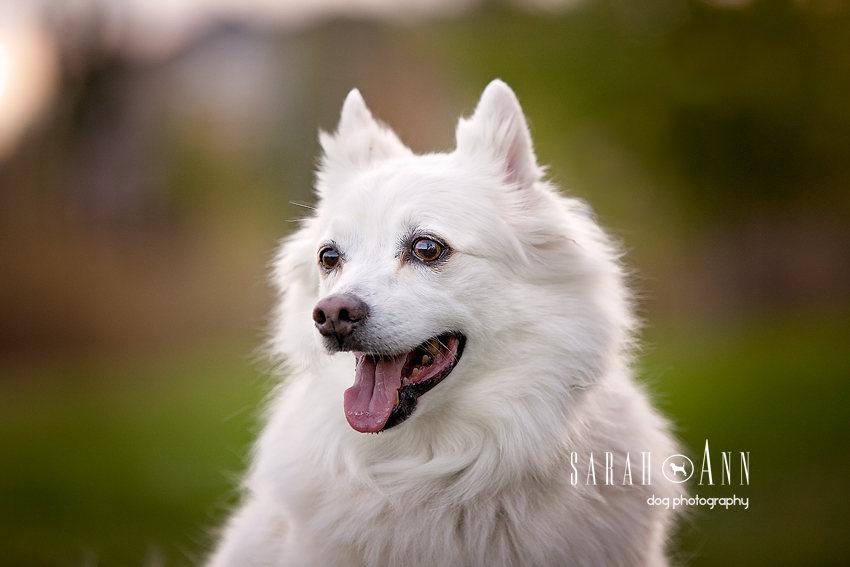 white-eskimo-dog-photo, landscape, eskimo dog face, smiling