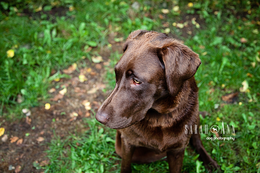 Chocolate_lab_portrait__image_green_grass-dog-portraits-published-dog-photographer