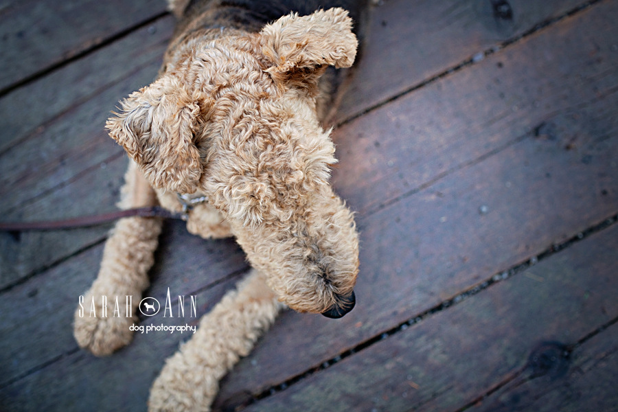 airedale-dog-image-top-of head-curly-hair-dog-photos-custom-dog-portraits-dog-photographer