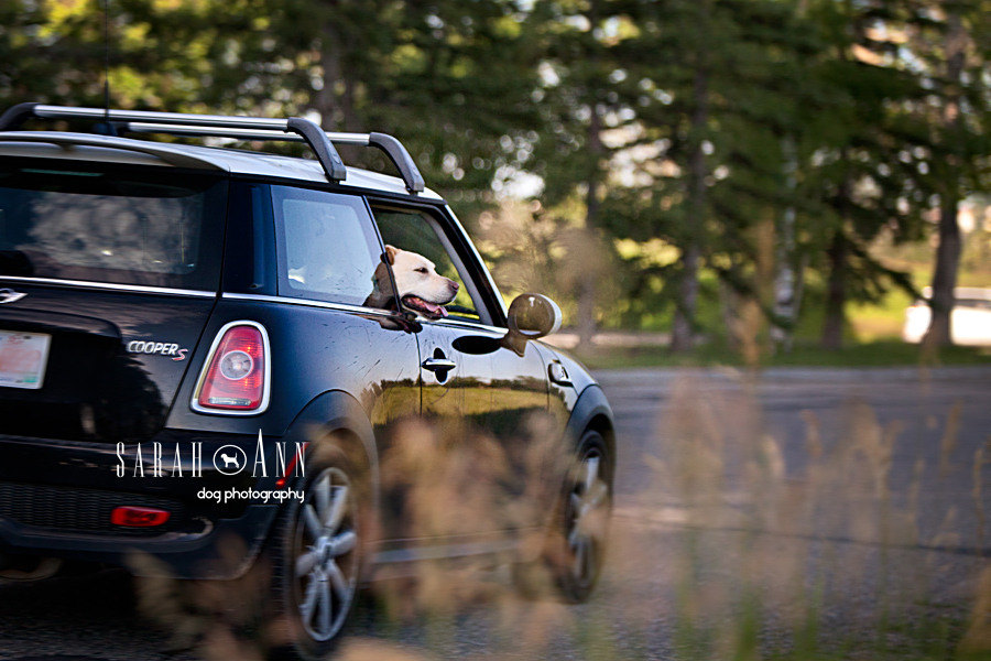 lab-car-ride-image-mini-cooper-dog-in-car-ride-dogs-in-cars-pet-dog-images-pets-photography-canada