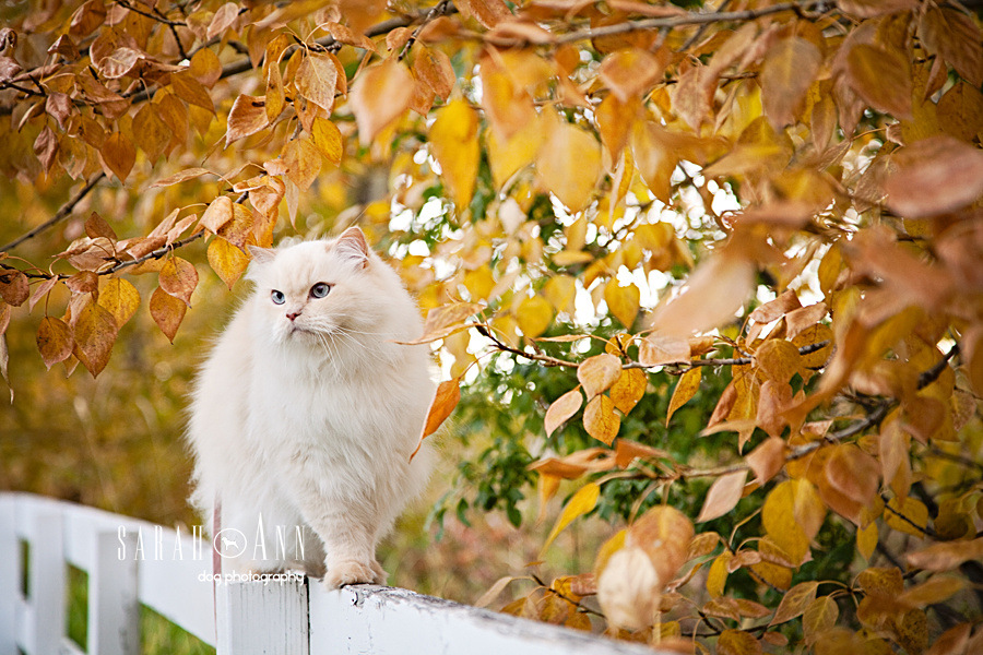 white-cat-on-white-fence-post -image-fall-leaves-cat-photography-stock-pet-photographers