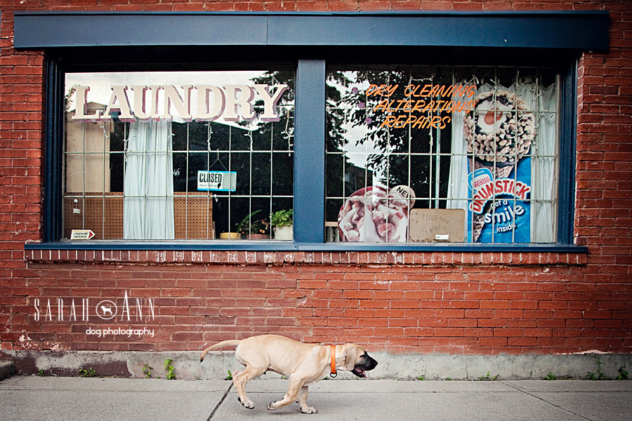 running-puppy-image-great-dane-urban-dog-photos-calgary-canada-pet-stock-photographer