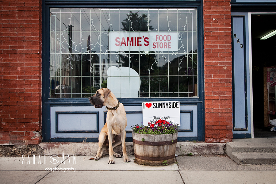 great dane calgary dog photography session sunnyside