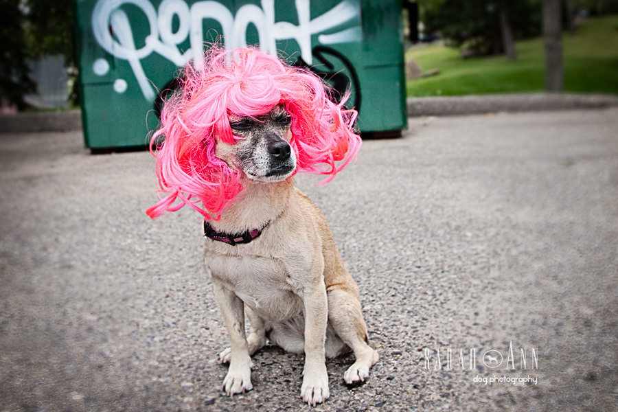 dog-in-pink-hair-piece-wig-halloween-dog-pics-dog-incognito-Confessions of a Dog Photographer