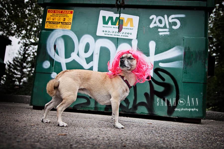 little-dog-wearing-pink-wig-image-urban-pet-photos-dog-photog-Confessions of a Dog Photographer