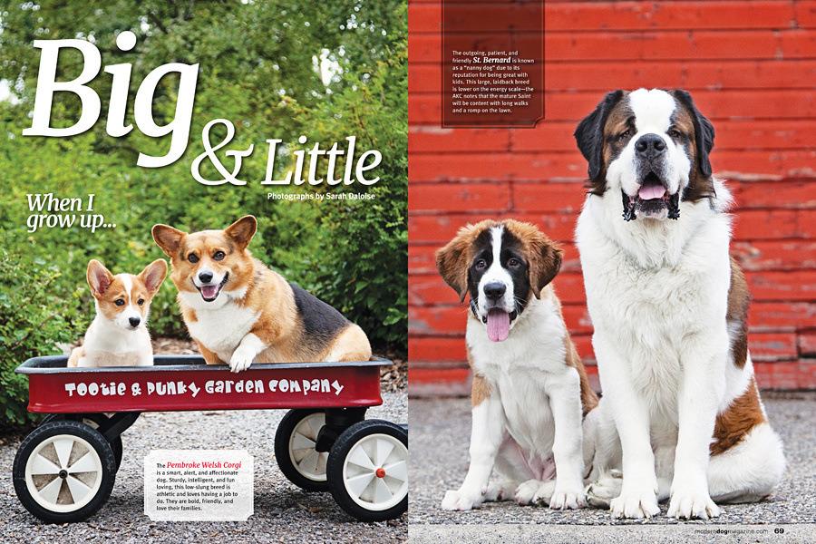 st-bernard-dogs-corgis-calgary-dogs-in-magazine, YYC dog photography