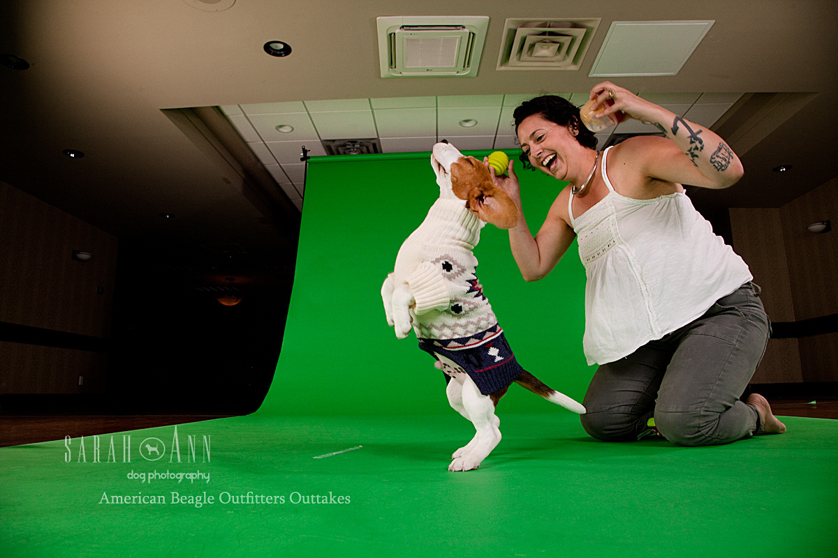 beagle puppy jumping-american-beagle-outfittters-shoot