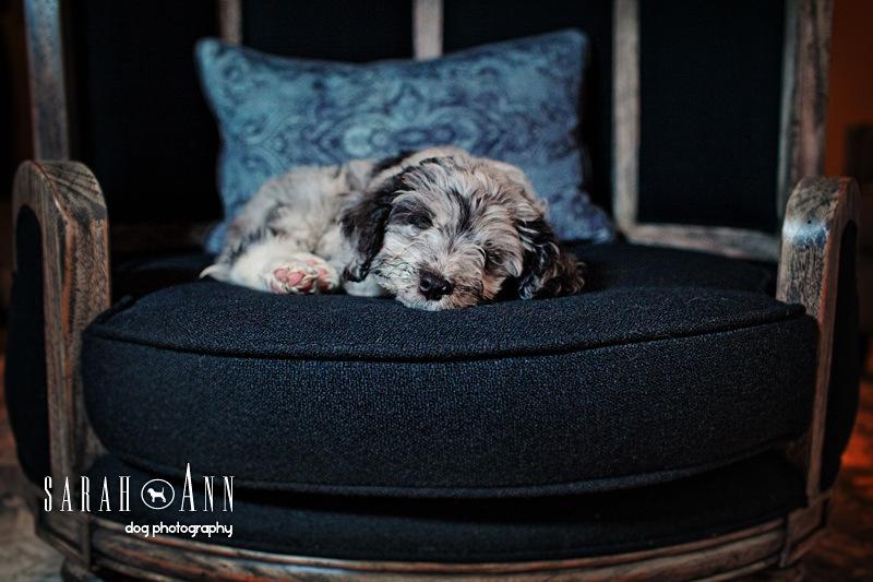 pet_photos_dog_photographer_calgary_canada