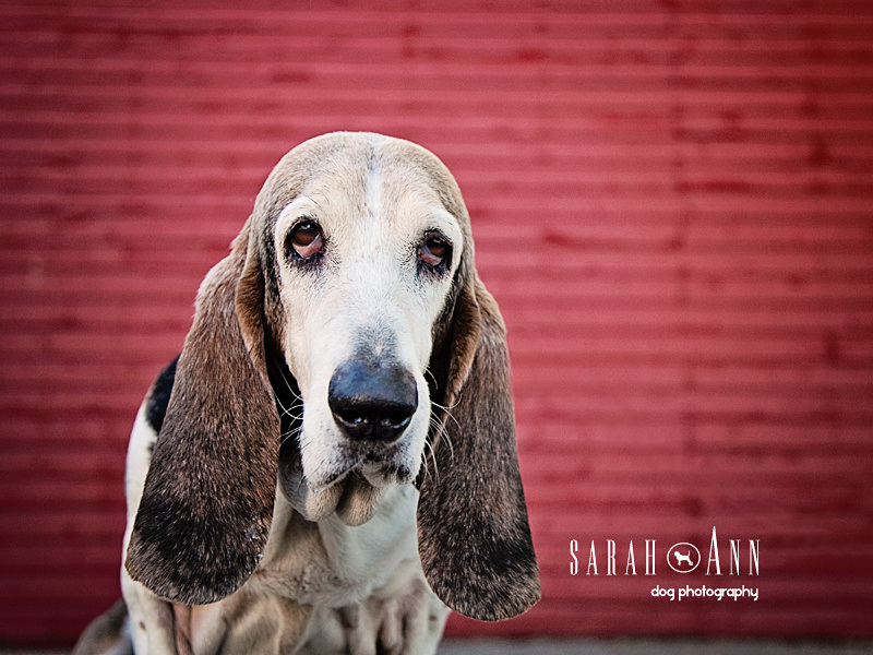 basset hound-dog portraits calgary -canadian pet photographers