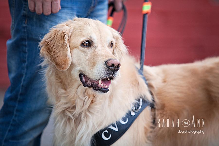 cvc_guide_dog_ photography_alberta_golden retriever