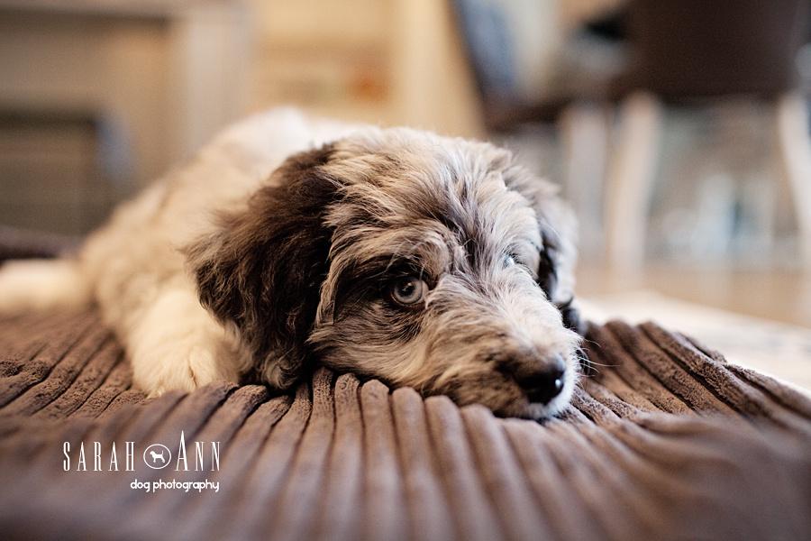 calgary_puppy_photo_shoot