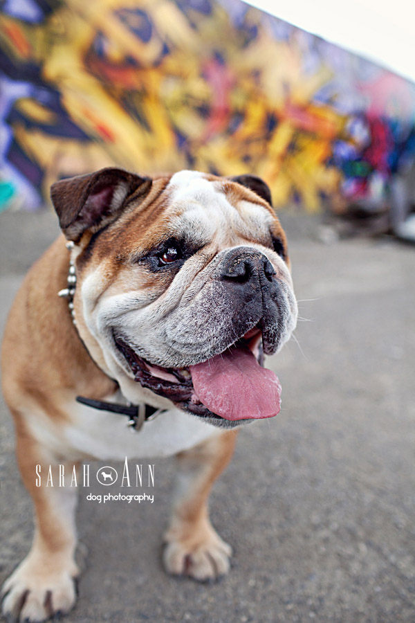 bulldog smiling bulldog smiling image graffiti laughing sarahann dog 699