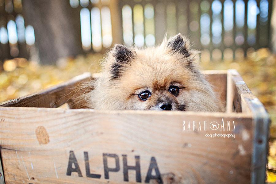 Pomeranian In Milk Crate Sarahann Dog Photographysarahann Dog
