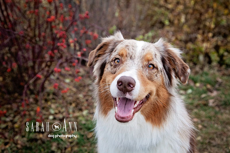 aussie shepherd dog smiling calgary pet photos