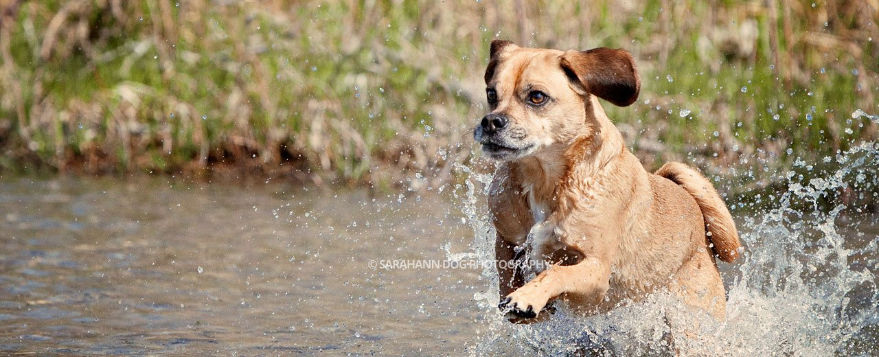 Puggle-running-image-SarahAnn-Dog-Photography