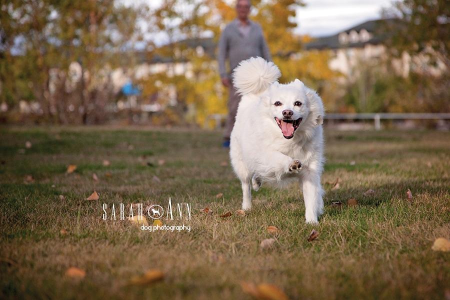 image dog running american eskimo