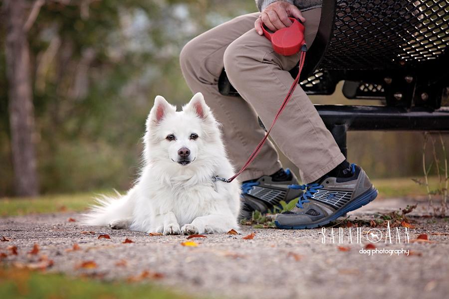 dog portrait calgary canada american eskimo dog image