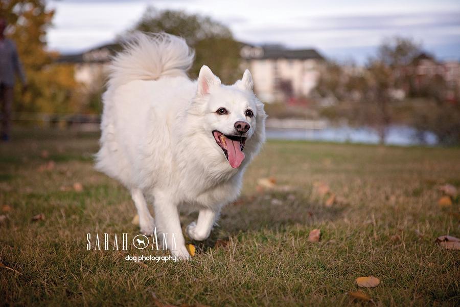 running dog image smiling american eskimo