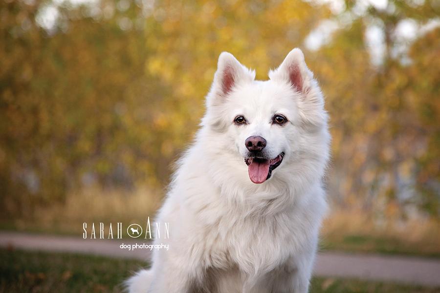 smiling happy american eskimo dog image portrait