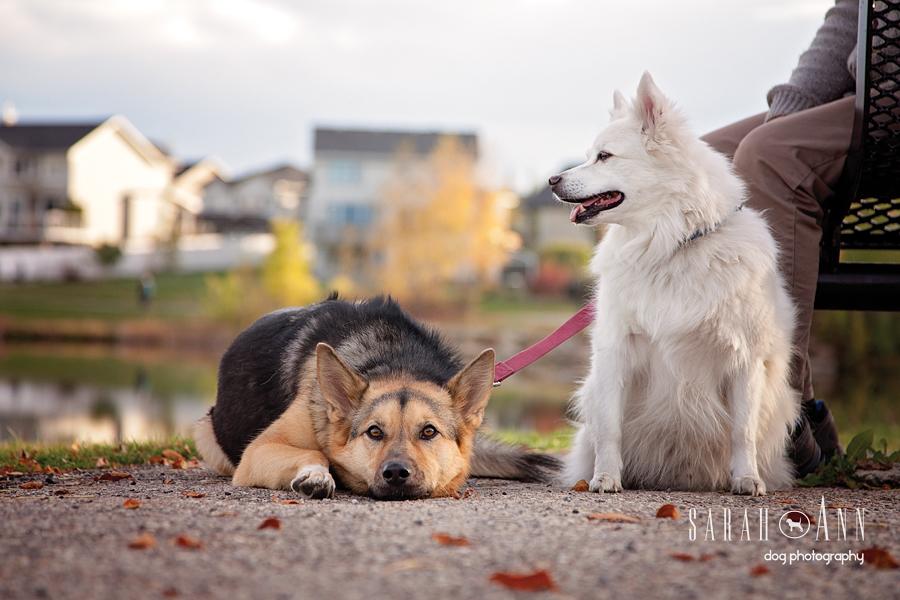 dog friends in calgary german shepherd and eskimo